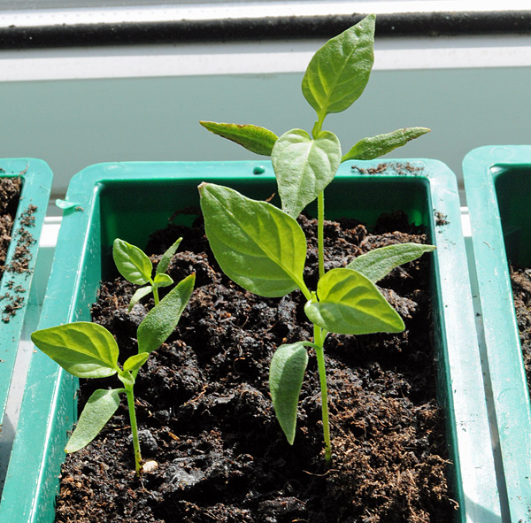 Jalapeno-seedlings-in-propa