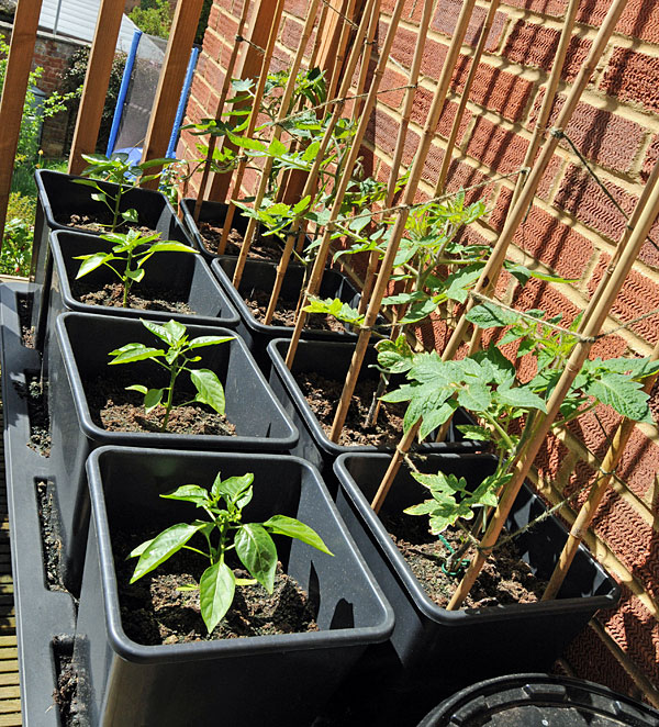 Octogrow planted with red peppers and plum tomatoes